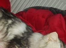 قطة شانشيلا 9 شهور