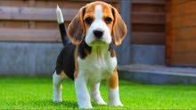 begal dog