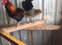 للبيع دجاجتين وديج