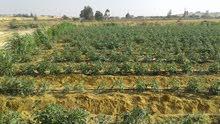 54 فدان للتجزئة منزرعة بالكامل طماطم منتجة 65000 ج للفدان