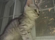 قطط شيرازية صغيرة