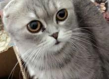 قطه سكوتش منتجه العين