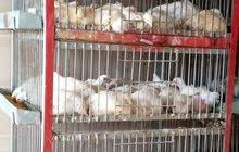 مطلوب عامل لنتافه دجاج في اربد
