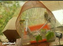 طيور بادجي عدد زوجيين مع القفص والمبياض للبيع