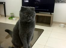 Scottish fold female 9 months old