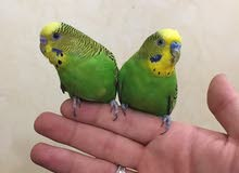 طيور بادجي استرالي اليفه