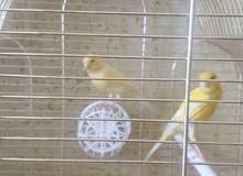 طيور كناري سوبر