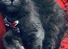 قطوة شيرازية ، أنثى ، نوعها بيرشن