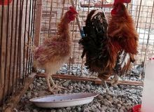 دجاج كيرلي