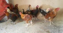 دياكه عمانيه