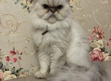 قطة هملاية بيور 100% العمر سنتين