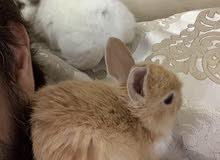 أرانب فرنسية صغيره .