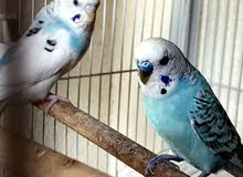 Breeding budgie pair for sale with cage and box