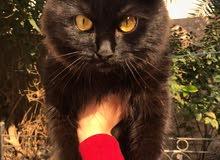 قطة شيرازية فخمة