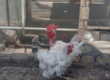 دجاجة و ديج