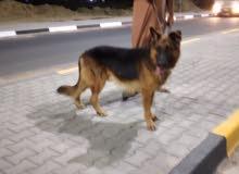 كلبة جيرمن البيع