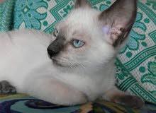 قطط سيامي للبيع عمر شهرين في سوسة 2ذكر