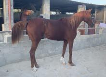 حصان مخصي  مهجن