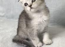 قطط سكوتش وبريتش