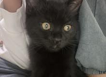 urgent kitten sale