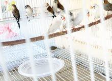 طيور  زيبرا منتج بكثرة