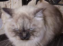 Male Hamalayan Siamese cat