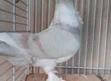 طيور حب رمان الون جميله جوز