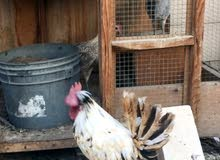 8 دجاج بياض وبعضه قريب + 4 ديك عربللاطفال او الشاليه 4 ديك