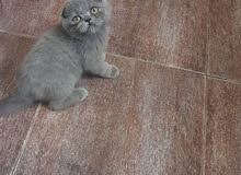 british short and scottish fold kitten for sale