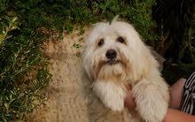 كلب فرينش تيرير للبيع بسعر مغري