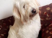 كلب فرنسي تيرير للبيع بسعر مغري