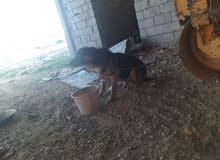 كلب الماني للبيع لعمر سنه