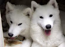 كلاب سامويد ذكر + انثى للبيع