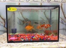 حوض سمك الطول45سم العرض 25 السعر مع زوج اسماك كولد فش البرتقاليات فقط