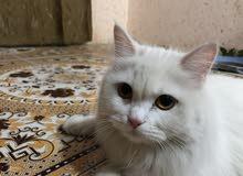 قطه شيرازيه نظيفه ومدربه للبيع