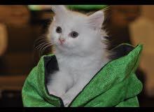 قط ابيض صغير400