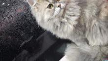 قطة رومى لطيفة جدا للبيع السعر