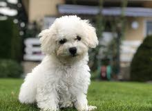 BICHON FRISE PURE BREED PUPPY FOR SALE