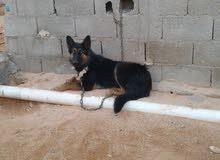 كلب جيرمن درجا اومر وطعه جراو عمر 7شهور