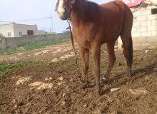 حصان عمر سنه ونص من نسل طيب الاب جلاد