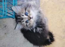 قطه شانسيلا