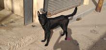 كلب للبيع بلاك كود عبد عمره ( 8 شهور ) فى الاسكندريه