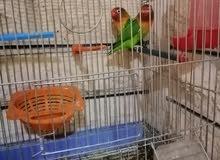 3 عصافير فيشر للبيع مع اغراضه