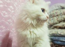 قط شيرازي لعبة
