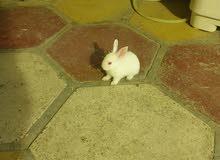 للبيع أرانب فرنسي ابيض عيون حمر وأكو عاديات ملونه