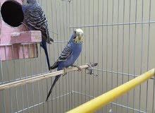زوج طيور حب للبيع ب 25 الف