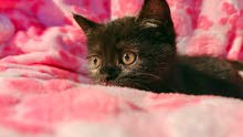PLAYFUL SOFT CUTE KITTENS MIX PERSIAN eat, drink and use litter.
