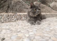 قط شيرازي أنثى