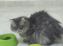 عندي قطط اليفه في منطقه تبوك