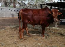 ثور عماني
